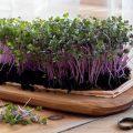 ann wigmore sprouts